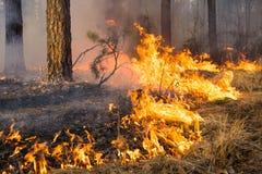 在森林火灾的大火焰 库存照片