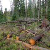 在森林火灾以后的树 库存照片