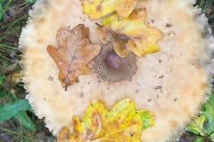 在森林特写镜头的伞菌 免版税库存照片