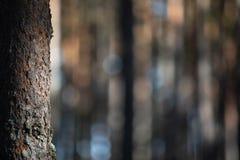 在森林特写镜头的孤立杉木 库存照片