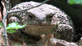 在森林特写镜头,蟾蜍晒日光浴在叶子的,在木头的动物宏观景色的青蛙 股票录像