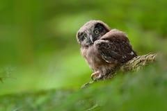 在森林猫头鹰的幼小猫头鹰在绿色植被栖所 北方猫头鹰, Aegolius funereus,坐与清楚的绿色的落叶松属树树干 免版税库存照片