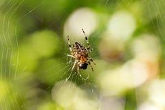在森林的天体织布工蜘蛛 免版税库存照片