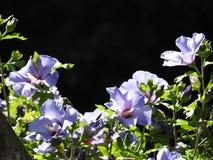 在森林的心脏光通过一棵蓝色木槿 免版税库存图片