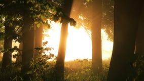在森林的有薄雾的黎明有第一阳光的 影视素材