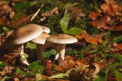 在森林的杯伞属nebularis 库存照片