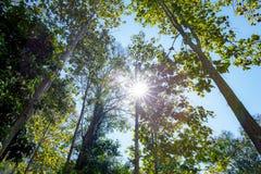 在森林的树有太阳光或射线星的 库存图片