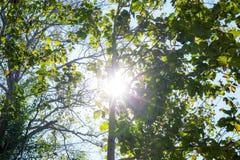 在森林的树有太阳光或射线星的 免版税库存图片