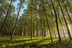 在森林的清早 库存图片