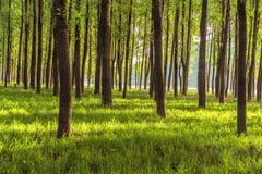 在森林的清早 免版税库存照片