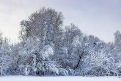 在森林的积雪的树在降雪以后渐近在一个多云冬日 33c 1月横向俄国温度ural冬天 免版税库存图片