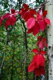 在森林的红色背景的秋叶 免版税库存图片