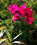 在森林的背景的一朵开花的红色兰花 免版税库存照片