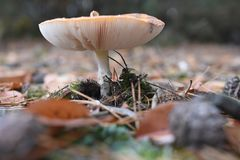 在森林的蘑菇特写镜头 免版税库存图片