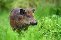 在森林的野公猪 免版税库存照片