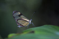 在森林的黑暗的背景的巴西黄色蝴蝶 库存图片
