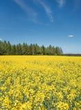 在森林的黄色开花的油菜籽领域 库存照片