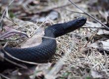 在森林的黑蛇 免版税库存照片