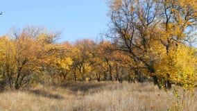 在森林秋天叶子的美丽的秋天黄色树下跌对地面 股票视频