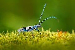 在森林美好的蓝色乱伦与长的试探者,有长触角的Rosalia, Rosalia alpina的蓝色昆虫,在自然绿色森林栖所, 库存照片
