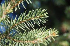 在森林背景的绿色毛皮树分支  免版税库存图片