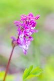 在森林草的及早紫色兰花在背景, 3月 免版税库存图片