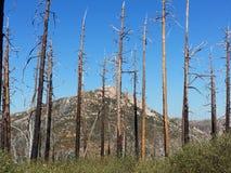 在森林蓝天的被烧的树 免版税库存照片