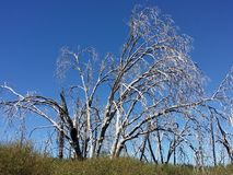 在森林蓝天的被烧的树 免版税图库摄影