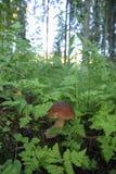 在森林蘑菇的Porcini秋天在叶子 库存照片