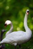 在森林设置的天鹅家庭 免版税图库摄影