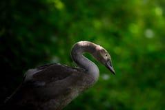 在森林设置的小天鹅 库存图片