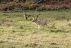 在森林边缘的两只幼小雄鹿  库存照片