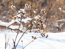 在森林边缘的干蓟在冬天 免版税库存图片