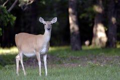 在森林边缘的鹿 免版税库存图片