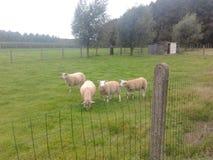 在森林边缘的绵羊 库存图片