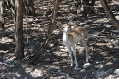 在森林边缘的Bambi 免版税库存照片