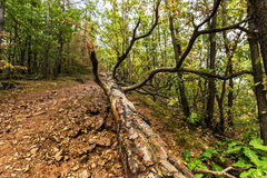 在森林道路的下落的树 库存图片