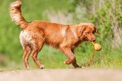 在森林道路的新斯科舍鸭子敲的猎犬 图库摄影