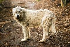 在森林道路的爱尔兰猎犬 库存图片