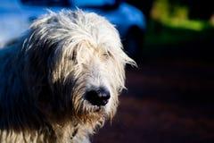 在森林道路的爱尔兰猎犬 免版税库存图片