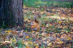 在森林里吃榛子的红松鼠 免版税库存照片