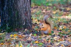 在森林里吃榛子的红松鼠 图库摄影