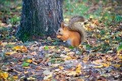 在森林里吃榛子的红松鼠 库存图片