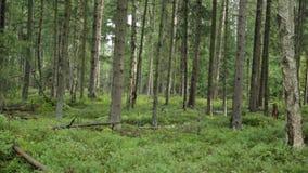 在森林里在秋天 股票视频