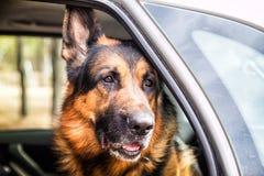 在森林里尾随一辆汽车的德国牧羊犬 库存图片