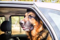 在森林里尾随一辆汽车的德国牧羊犬 免版税库存图片