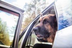 在森林里尾随一辆汽车的德国牧羊犬 库存照片