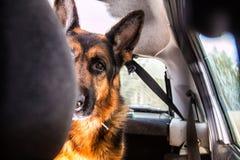在森林里尾随一辆汽车的德国牧羊犬 免版税库存照片