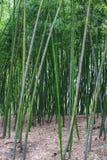 在森林里归档的绿色竹子 库存照片