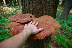 在森林里成熟生长在一棵树的狂放的Reishi蘑菇 免版税库存照片